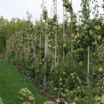 Амфора (Чехия) третий год вегетации