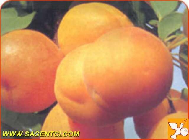 Саженцы и сорта абрикоса