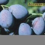 Валиевка — Саженцы сливы