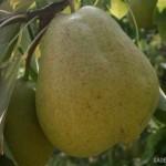 Чудесная Италия (Италия) — Саженцы груш