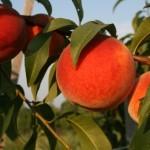 Crest Haven(США) — Саженцы персиков
