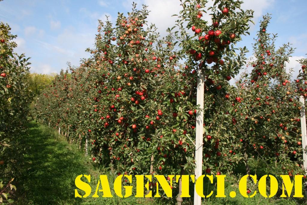 Элизе (Голандия) - саженцы яблони