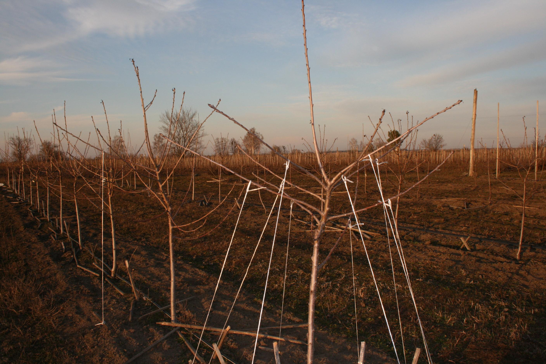 Выращивание подвоя для шелковицы 2