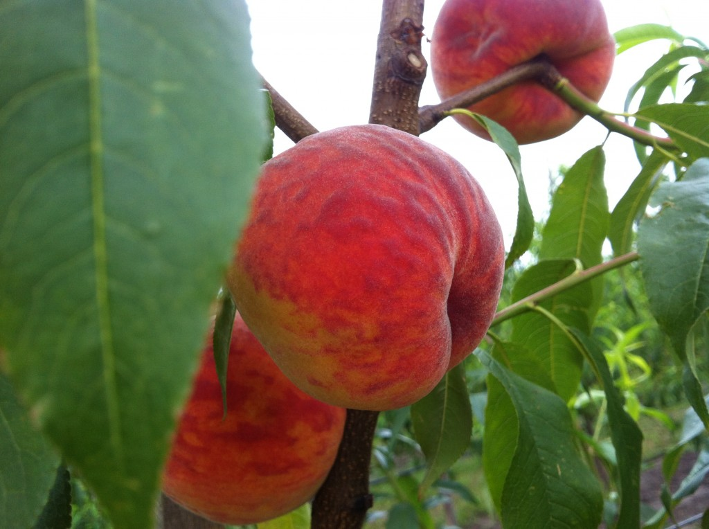 саженцы персиков