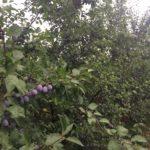 Шестилетние деревя сливы сорта Валиевка ( Югославия )