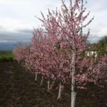 Мерилл О Генри  — Саженцы персиков