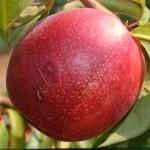 Хар Ко (Канада) селекция Джорж Лайн  — саженцы нектарина