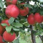 Хани Крисп (США) — Саженцы яблони