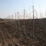 Регина (Германия) — Саженцы черешни