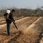 Освобождение маточника Айвы от опилок весной