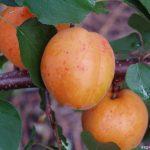 Saragossa (Испания)  — Саженцы абрикоса