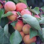 Super Star (США) — Саженцы абрикоса