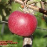 Эрли Квин(Голландия) — Саженцы яблонь