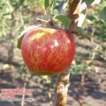 Арива (Швейцария) — Саженцы яблонь