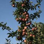Ред Чиф на М-9(США) — Саженцы яблони