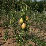 Диколор (Чехия) | Саженцы груш
