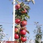 Райка (Чехия) — Саженцы яблони