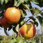 Пинова (Германия) — Саженцы яблонь