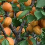 Хар Гранд (Канада) — Саженцы абрикоса