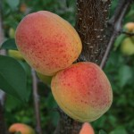 Soledano (США)  — Саженцы абрикоса