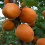 Голд Рич (США) — Саженцы абрикоса