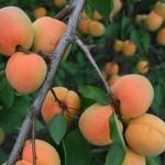 Rabada (США)  — Саженцы абрикоса