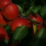 Salmona (США)  — Саженцы абрикоса