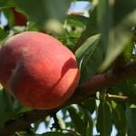 Персик Canadian Harmony(Канада) — Саженцы персиков