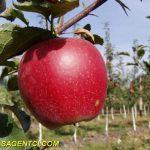 Бребурн Ред Филд — Саженцы яблони