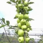 Грин Стар (Бельгия) — Саженцы яблони