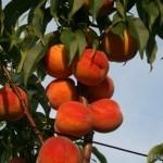 Red Star (Италия) — Саженцы персиков