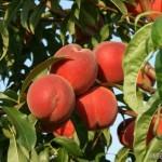 Flamin Fury 19-007® (США) — Саженцы персиков