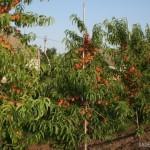 Персик. 6-я вегетация. Урожай 2010 года  — Саженцы персиков
