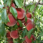 Blazing Star®(США) — Саженцы персиков