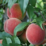 Rich Lady (США) — Саженцы персиков