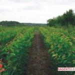 Саженцы черешни 5000 шт. карликовом подвое ВСЛ-2, 2-й месяц вегетации