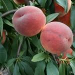 Biscoe (США) — Саженцы персиков
