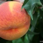 Flamina(Италия ) — Саженцы персиков