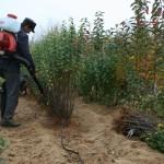 Маточник айвы. Третий год вегетации  — Саженцы груши