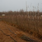 Маточник подвоя М-9  — Саженцы яблонь — Третий год вегетации