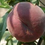Flamin Fury 28-007 (CША) — Саженцы персиков