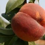 Douceur(Франция) — саженцы персиков