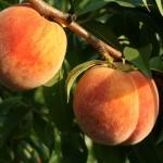 Weinberger 51-99(США) — Саженцы персиков