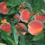 Bellaire(США) — Саженцы персиков