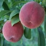 Encore(США) — Саженцы персиков