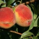 Maria Delichia(Италия) — Саженцы персиков