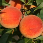 Sun Rise (CША) — Саженцы персиков