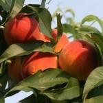 Zee Lady (США) — Саженцы персиков