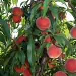 Alexandra®(США) — Саженцы персиков