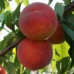 Gladis(США) — Саженцы персиков